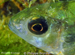 Golden eye of European perch by Philippe Brunner