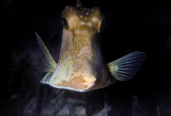 Smooth trunkfish at night. San Salvador, Bahamas. Fuji Qu... by Derek Zelmer