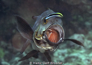 Black snapper Come in !! Bunaken islands, Sulawesi,     by Hans-Gert Broeder
