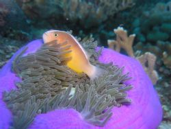 Skunk anenomefish in magnificent anenome. Olympus 5060c w... by Andrew Gottscho