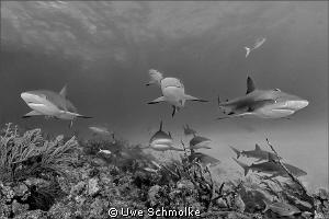 Among sharks by Uwe Schmolke