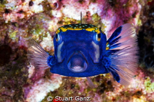Blue box fish by Stuart Ganz