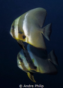 A curious couple of batfish by Andre Philip
