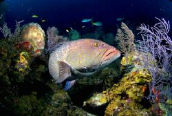 Grouper. Turks & Caicos. 10mm by Andy Lerner