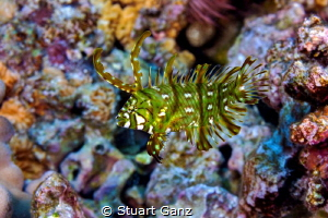 Dragon Wrasse by Stuart Ganz