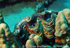 Giant clam and anemons by Philippe Brunner