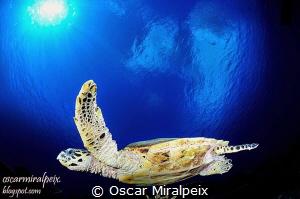 Turtle by Oscar Miralpeix
