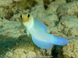 yellowhead jawfish by J. Daniel Horovatin