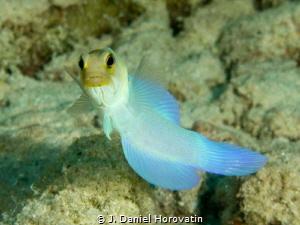 yellowhead jawfish by J. Daniel Horovatin