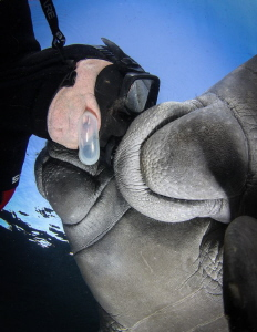Face push. In the Manatee sanctuary touching is forbidden... by Steven Miller