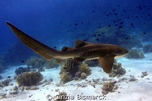 My dream comes true Leopard shark - Stegostoma fasciatum... by Cinzia Bismarck
