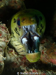 Tiger moray eel by Steven Withofs