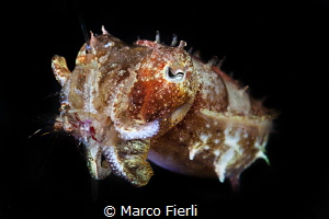Tiny cuttlefish eating an even tinier shrimp by Marco Fierli