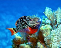 """Say Cheese!"" - Stoplight parrotfish in Roatan, Honduras.... by George Smorse"
