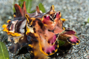 Flamboyant Cuttlefish seen on a dusk dive in Komodo Natio... by Paul Colley