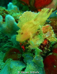 Leaf scorpion fish by Steven Withofs