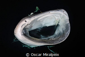 whaleshark by Oscar Miralpeix