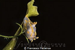 [:b:]Polycera quadrilineata[:/b:] by Francesco Pacienza