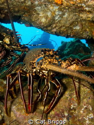 spiny lobster at Socorro by Cat Briggs