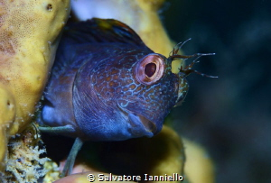 Mister blenny by Salvatore Ianniello