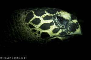 Forget the eye of the tiger, the eye of the Turtle is mor... by Haydn Salvas