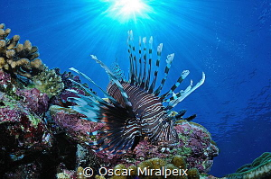 lionfish by Oscar Miralpeix