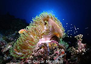 anemone ... by Oscar Miralpeix
