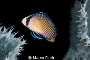 Splendid Dotty Back by Marco Fierli