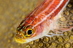 Common ghost goby.  Nikon D4, 105mm & +10 diopter by Paul Colley