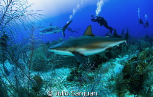 Caribbean sharks by Julio Sanjuan