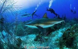Caribbean sharks by Julio Sanjuan