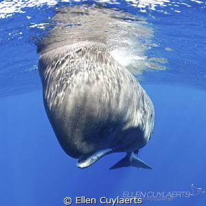 """""""Do I fit in your frame...or your world"""" Sperm whale Ta... by Ellen Cuylaerts"""