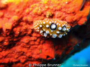 Nudibranch by Philippe Brunner
