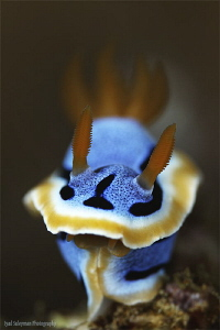 Chromodoris quadricolor by Iyad Suleyman