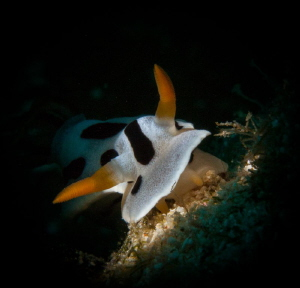 snooted Nudi by Steven Miller