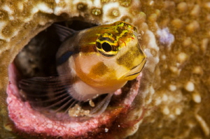 Curious Blenny. by Mehmet Salih Bilal