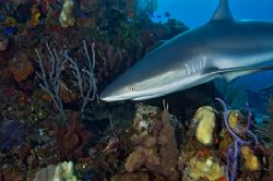 Reef Shark, Turks & Caicos. This one kept ciircling me, g... by Andy Lerner