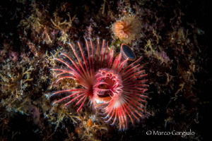 Red Tubeworm by Marco Gargiulo