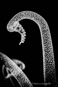 Tentacles on B/W by Marco Gargiulo