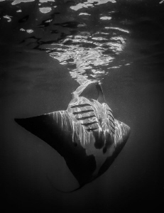 Manta Ray close with fisheye and natural light by Steven Miller