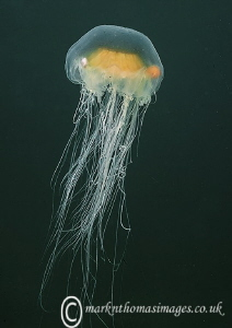 Jellyfish - Criccieth Beach, N. Wales by Mark Thomas