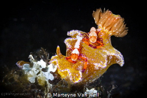 A nudi with two emperor shrimps on it by Marteyne Van Well