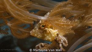 Juvenile Filefish blending in by Marteyne Van Well