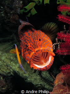 A jewels grouper is cleaning by a very nice cleanerfish by Andre Philip