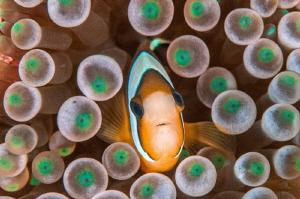 A Clownfish in Raja Ampat. by Mehmet Salih Bilal