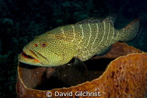 Grouper hovering over basket sponge in the waters of the ... by David Gilchrist