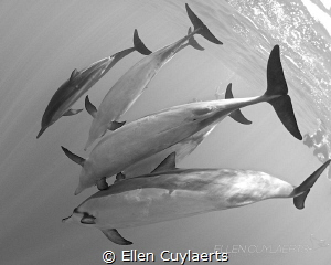 """""""White belly blues""""  Spinner dolphins in milky water, K... by Ellen Cuylaerts"""