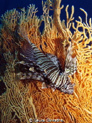 Lionfish on gorgonian by Laura Dinraths