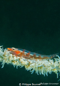 Goby by Philippe Brunner