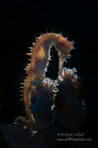 Thorny Seahorse-Lembeh. by Richard Goluch